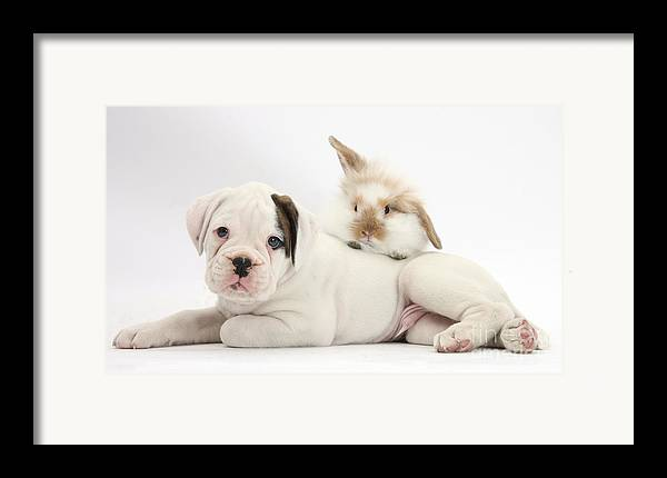 Nature Framed Print featuring the photograph Boxer Puppy And Young Fluffy Rabbit by Mark Taylor