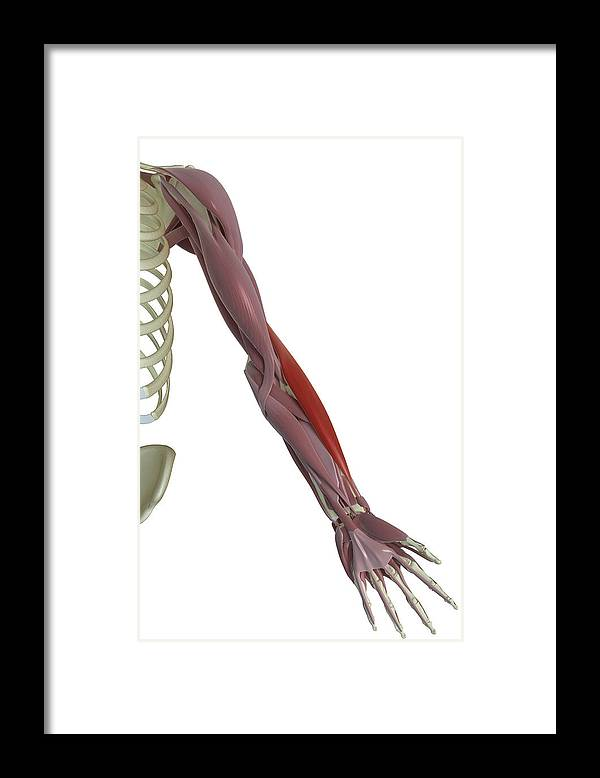 Vertical Framed Print featuring the photograph Brachioradialis by MedicalRF.com