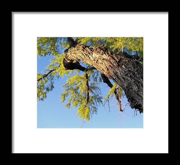 Tree Framed Print featuring the photograph Branching Out by Lynnette Johns