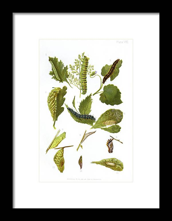 Hamearis Lucina Framed Print featuring the photograph British Butterfly Larvae, 1897 by Maria Platt-evans