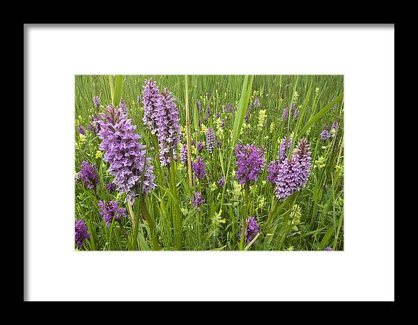 Nis Framed Print featuring the photograph Broad-leaved Marsh Orchid Dactylorhiza by Jan Vink