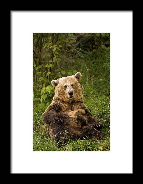 Fn Framed Print featuring the photograph Brown Bear Ursus Arctos, Asturias, Spain by Ramon Navarro