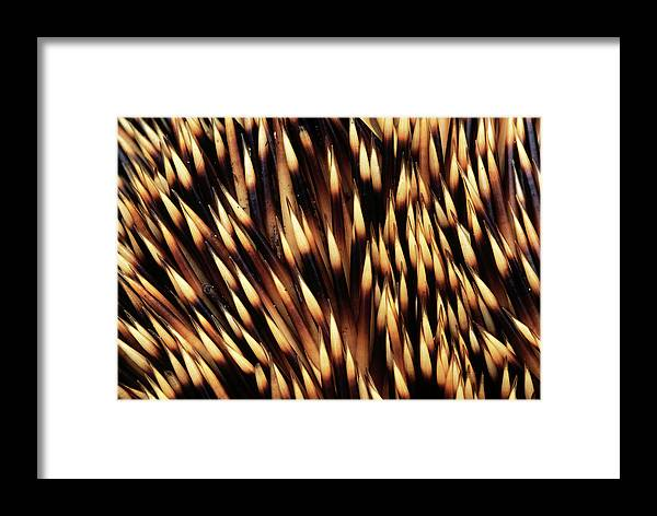 Fn Framed Print featuring the photograph Brown-breasted Hedgehog Erinaceus by Flip De Nooyer