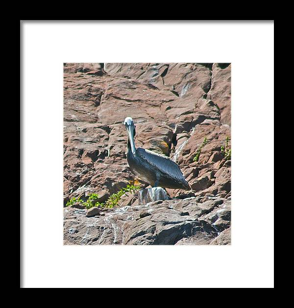 Bird Framed Print featuring the photograph Brown Peligan by Ruth Edward Anderson
