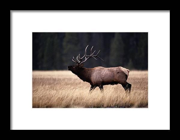Yellowstone National Park Framed Print featuring the photograph Bull Elk Cervus Elaphus by Raymond Gehman