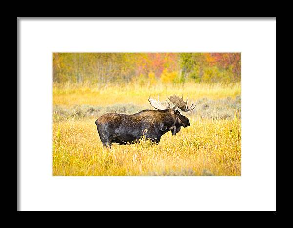 Grand Teton National Park Framed Print featuring the photograph Bull Moose In Autumn by Greg Norrell