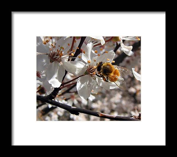 Cherry Framed Print featuring the photograph Bumble Bee On A Cherry Blossom by Tyra OBryant