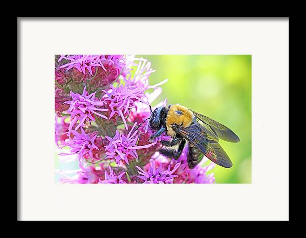 Becky Framed Print featuring the photograph Busy As A Bee by Becky Lodes