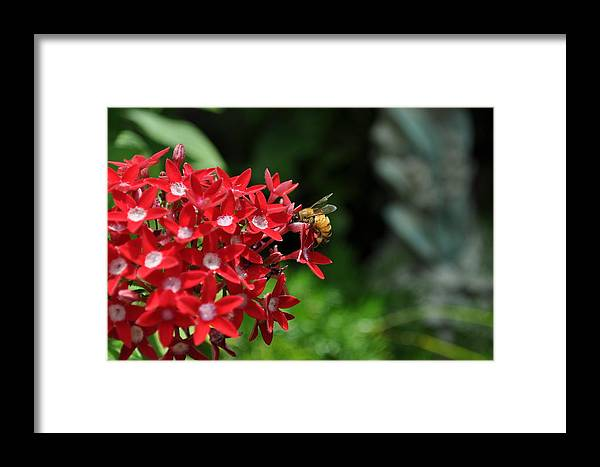 Flower Framed Print featuring the photograph Busy Bee by Jose Diogo