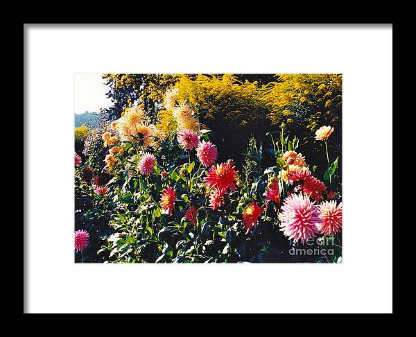 Pink Flowers Framed Print featuring the photograph Butchart Cheerfulness by Barbara Plattenburg
