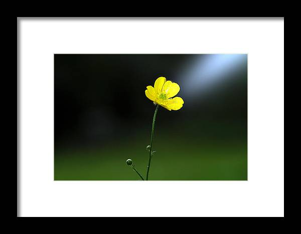 Buttercup Framed Print featuring the photograph Buttercup Buttercup All Alone In The World by Kevin Askew
