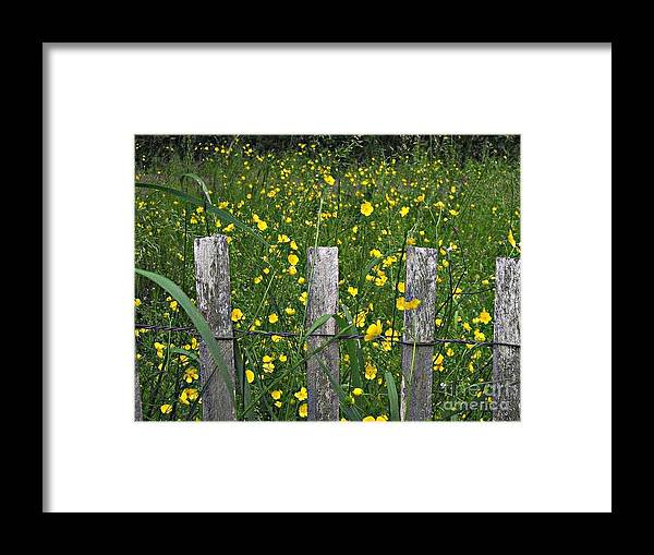 Flowers Framed Print featuring the photograph Buttercups by Christy Beal
