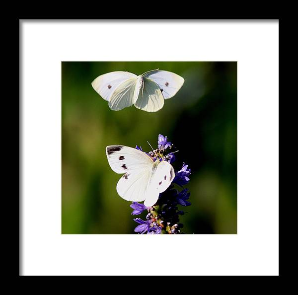 Yellow Cabbage Butterfly Framed Print featuring the photograph Butterfly - Visiting by Travis Truelove