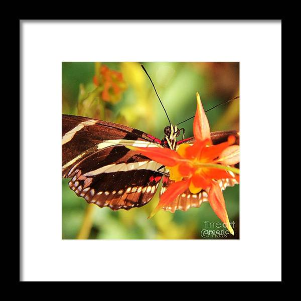 Butterfly Framed Print featuring the photograph Butterfly Beauty by Phil Huettner