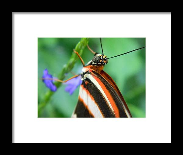 Butterfly Framed Print featuring the photograph Butterfly Eye by Brandy Fenenga