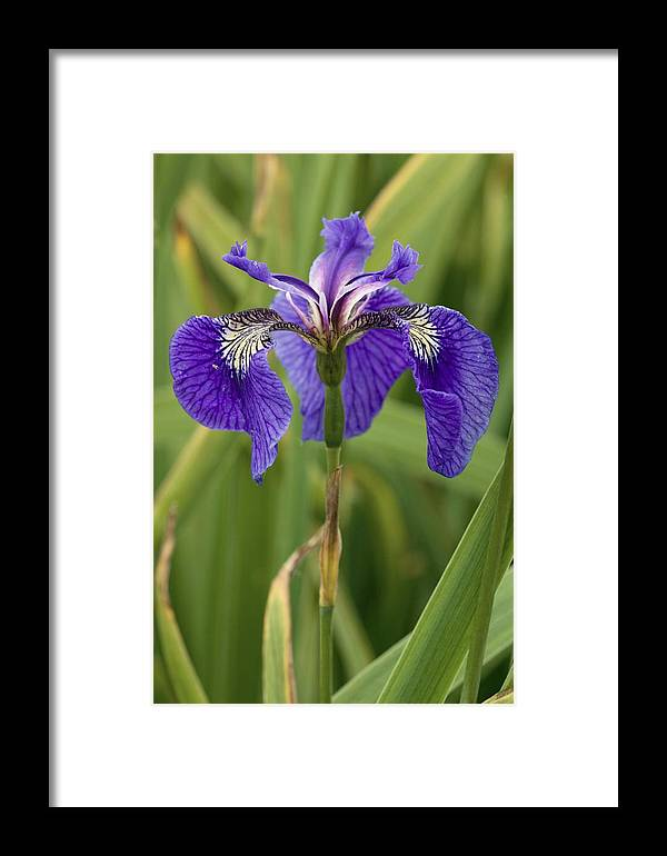 Butterfly Iris Framed Print featuring the photograph Butterfly Iris (iris Spuria) by Bob Gibbons