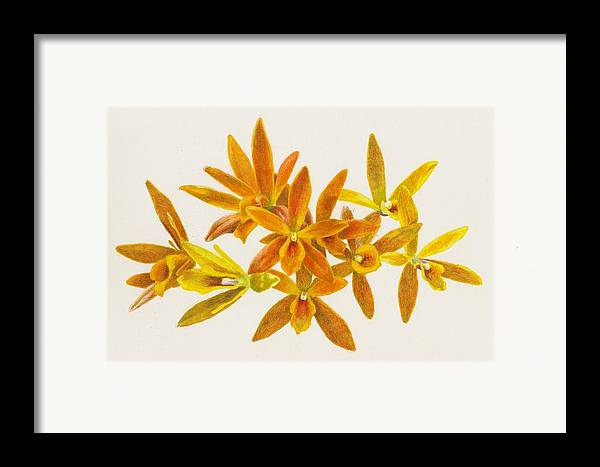 Orchid Framed Print featuring the photograph Butterfly Kisses by Steve Asbell