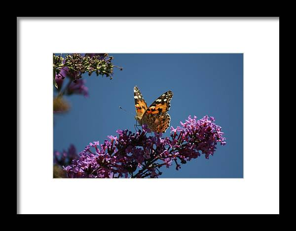 Butterfly Framed Print featuring the photograph Butterfly On Lilac 2 by Berta Barocio-Sullivan