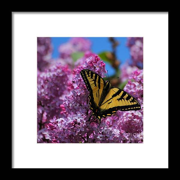Insect Framed Print featuring the photograph Butterfly On Pink Lilac by Marjorie Imbeau