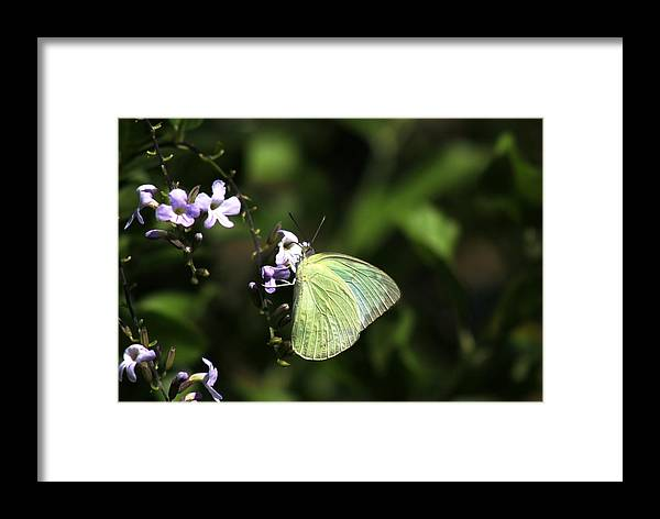 Butterfly Framed Print featuring the photograph Butterfly On Purple Flower by Ramabhadran Thirupattur
