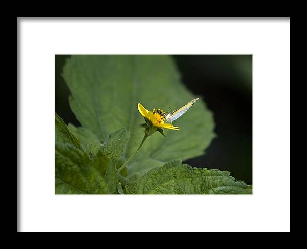Amazon Framed Print featuring the photograph Butterfly On Yellow Flower by Robert Selin