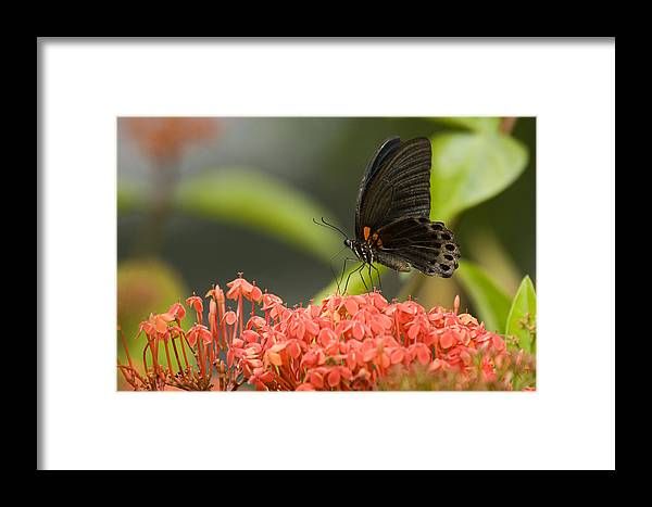 Butterfly Framed Print featuring the photograph Butterfly Papilio Memnon Feeding by Tim Laman
