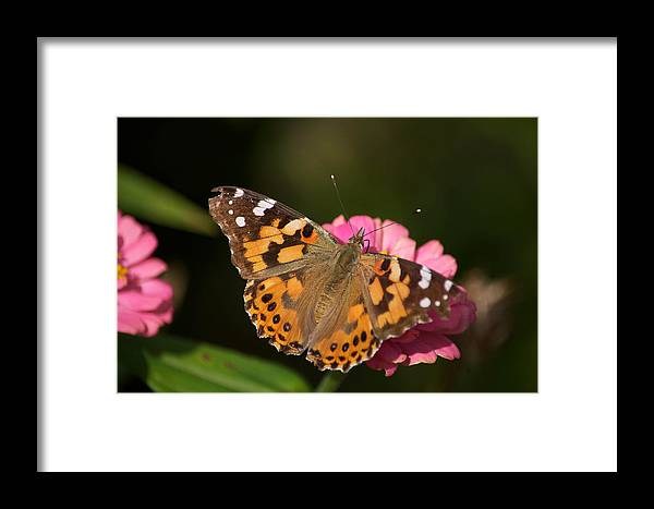 Butterfly Framed Print featuring the photograph Butterfly by Stephen Tunis