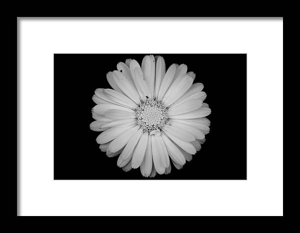 Calendula Framed Print featuring the photograph Calendula Flower - Black And White by Laura Melis