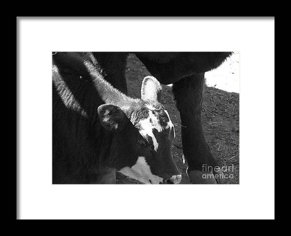 Calf Framed Print featuring the photograph Calf by Pamela Walrath