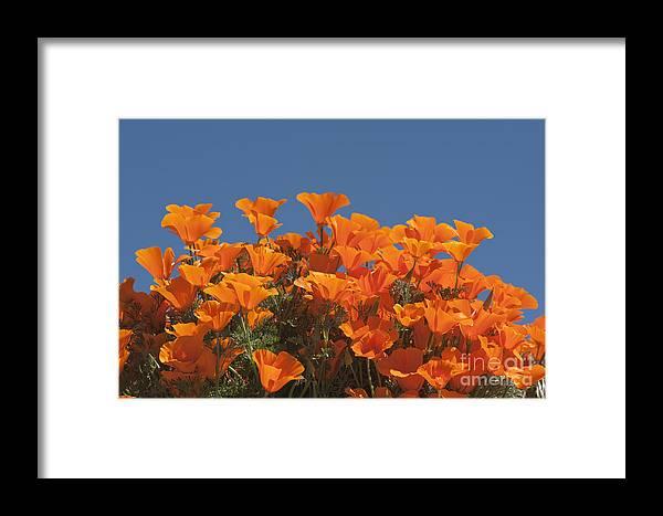 Sandra Bronstein Framed Print featuring the photograph California Poppies by Sandra Bronstein