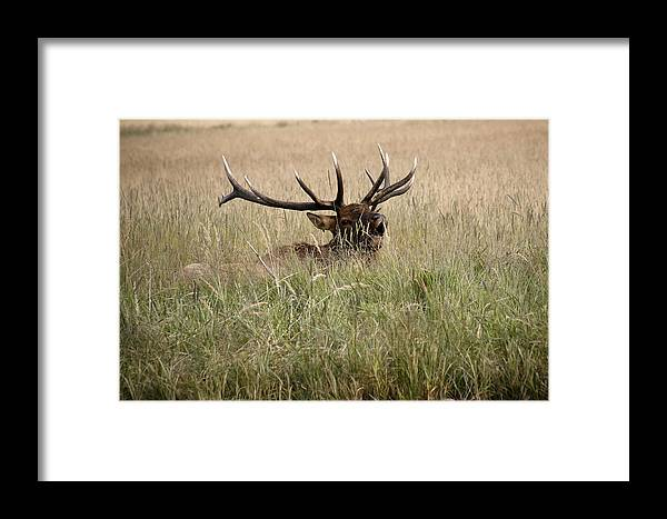 Elk Framed Print featuring the photograph Call Of The Wild 1 by Marilyn Hunt