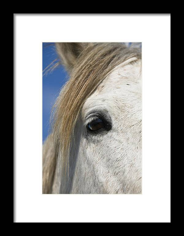 Mp Framed Print featuring the photograph Camargue Horse Equus Caballus Eye by Konrad Wothe