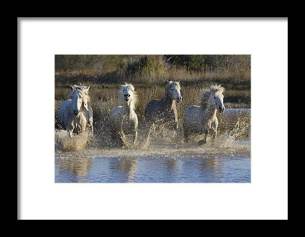 Mp Framed Print featuring the photograph Camargue Horse Equus Caballus Group by Konrad Wothe