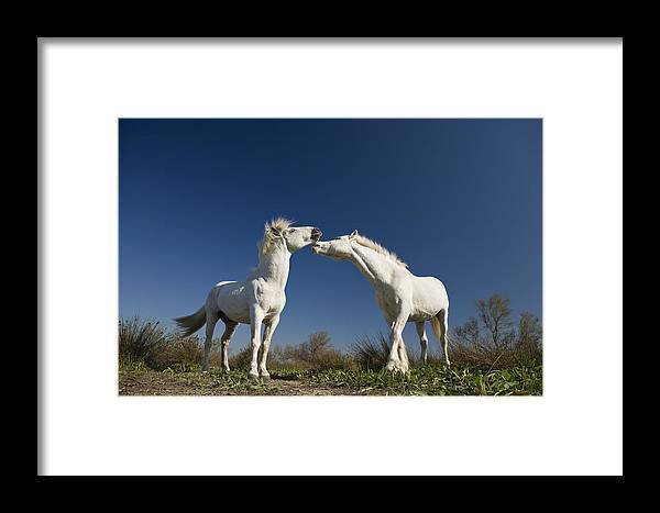 Mp Framed Print featuring the photograph Camargue Horse Equus Caballus Stallions by Konrad Wothe