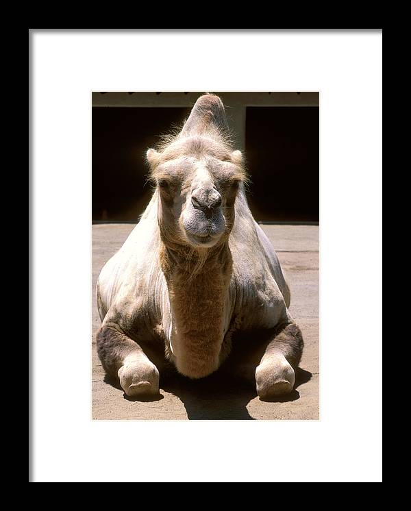 Camel. Hump Framed Print featuring the photograph Camel by Christopher Brown