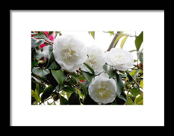 'snow Chan' Framed Print featuring the photograph Camellia Flowers (camellia Japonica) by Dr Keith Wheeler