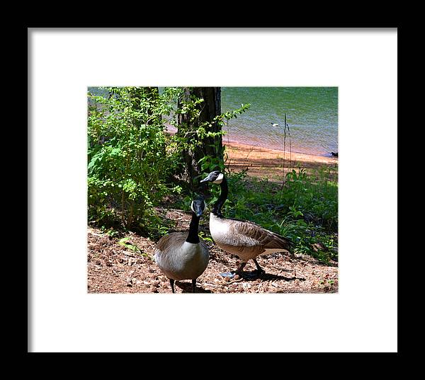 Animal Framed Print featuring the photograph Canadian Geese-12 by Eva Thomas