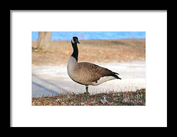 Animal Framed Print featuring the photograph Canadian Goose 2 by Susan Stevenson