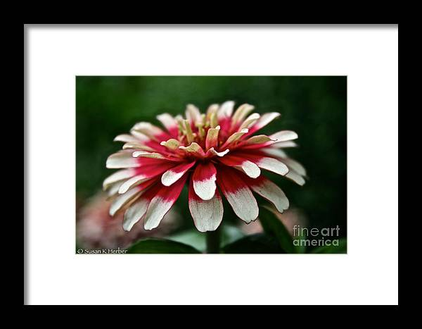 Garden Framed Print featuring the photograph Candy Color Zinnia by Susan Herber