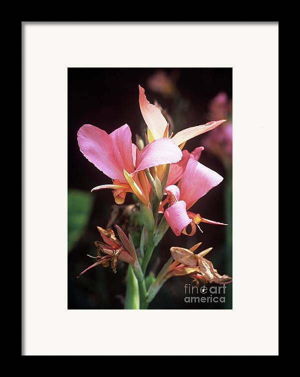 'erebus' Framed Print featuring the photograph Canna Lily 'erebus' by Adrian Thomas