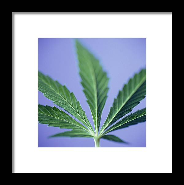 Marijuana Framed Print featuring the photograph Cannabis Leaf by Cristina Pedrazzini