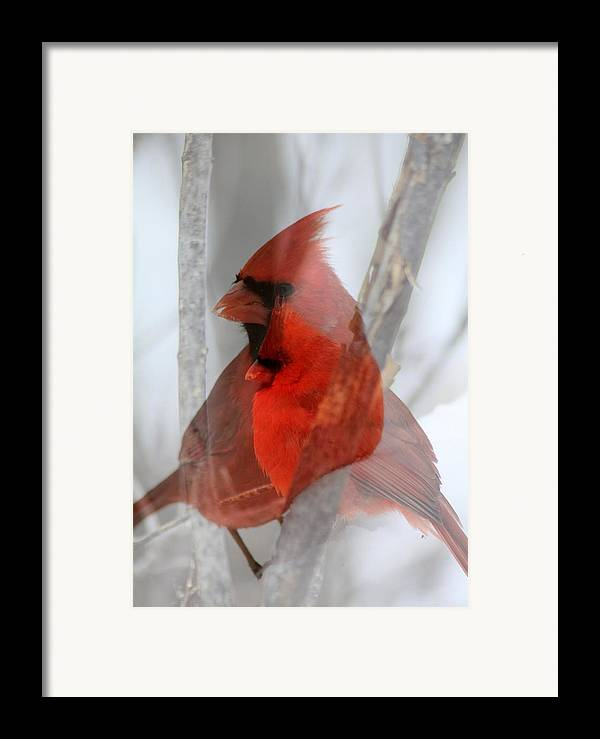Cardinals Framed Print featuring the photograph Cardinal Collage by Rick Rauzi