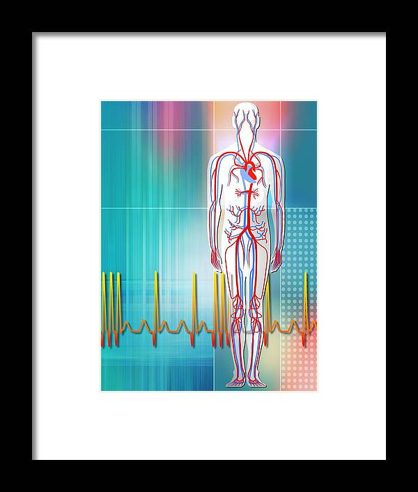 Human Framed Print featuring the photograph Cardiovascular System by Pasieka