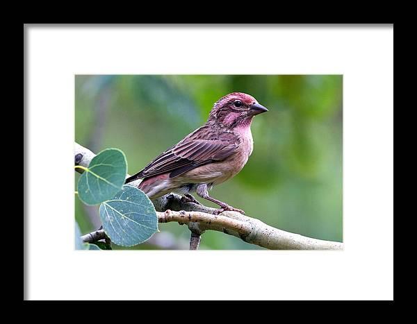 Bird Framed Print featuring the photograph Cassin's Finch by Merle Ann Loman