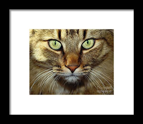 Maine Coon Framed Print featuring the photograph Cat Named Hooch by Joanne West