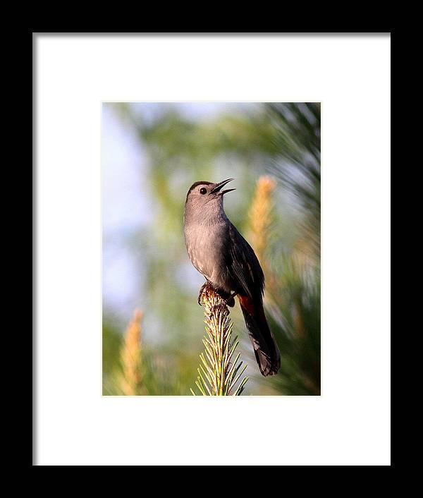 Catbird Framed Print featuring the photograph Catbird In Pine by Travis Truelove