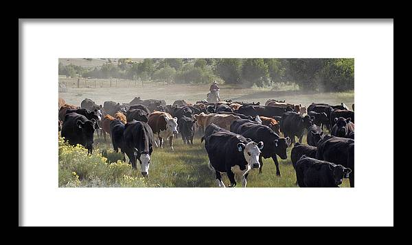 Cattle Framed Print featuring the photograph Cattle Drive by Judy Deist