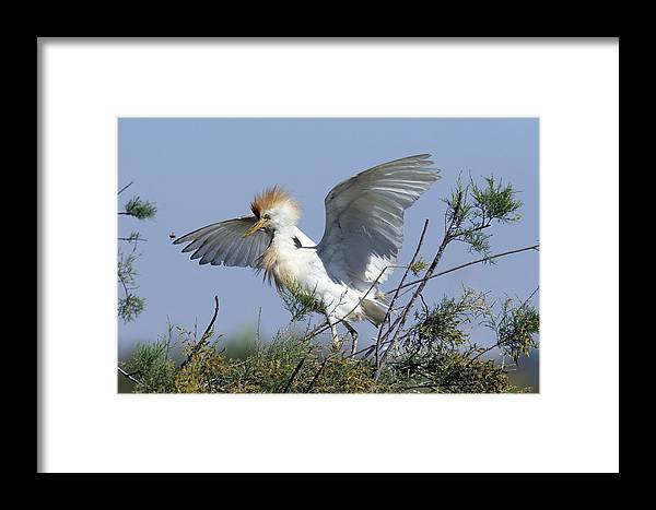 Bubulcus Ibis Framed Print featuring the photograph Cattle Egret In Breeding Plumage by Photostock-israel