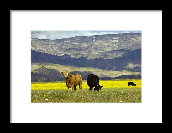 Hills Framed Print featuring the photograph Cattle In California by Bob Gibbons