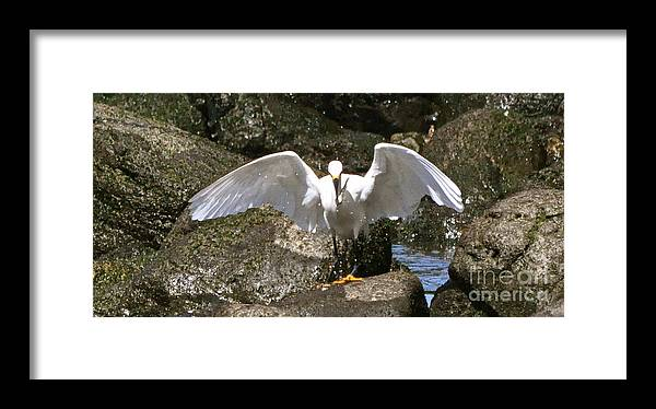 Egret With Wings Spread Open Framed Print featuring the photograph Caught It by Johanne Peale
